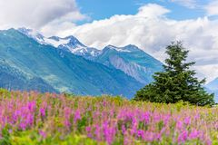 Mountain with foreground Fireweed flowers and cloudy sky Alaska. On a cloudy day in summer stock images