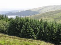 Mountain Forest. View over a small forest of spruce trees in the Brecon Beacons in Wales Stock Photos