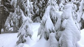 Winter Time in Mountains Fir Covered by Snow. Mountain forest covered by snow stock video