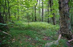 Mountain forest interior with large birch tree and ferns Stock Photo