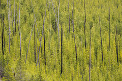 Mountain forest landscape - Yellowstone National Park. Travel vacation tourism photos taken in Yellowstone National Park Wyoming USA. Mountain forest landscape Stock Image