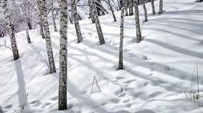Mountain forest in late winter. Snow in a mountain forest at the end of winter Royalty Free Stock Photos