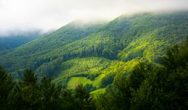 Mountain forest in morning fog. Mountain pine forest and glade in the morning fog and sunrise light Stock Photos