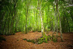 Mountain forest in Pyrenees. France Royalty Free Stock Photography