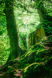 Mountain forest and trees with moss in magic light. Royalty Free Stock Image