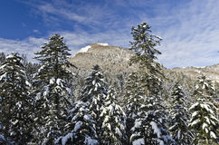 Mountain forest under the snow. Mountain Fir forest under the snow contrasted with blue sky textured with light clouds Royalty Free Stock Image