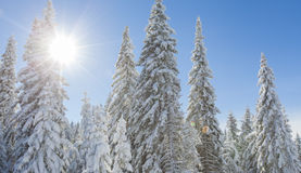 Mountain forest under the snow in winter Stock Photos