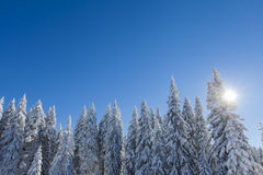 Mountain forest under the snow in winter Royalty Free Stock Photo