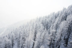 Mountain forest in winter Royalty Free Stock Image