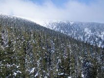 Mountain forest in the winter. Spruce mountain forest in the winter with an avalanche slope at the horizon royalty free stock photo