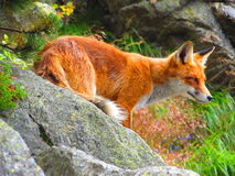 Mountain Fox royalty free stock photography