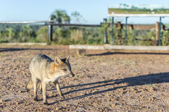 Mountain Fox on El Palmar National Park, Argentina Royalty Free Stock Images