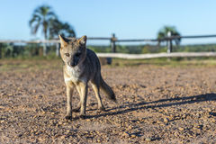 Mountain Fox on El Palmar National Park, Argentina Stock Photography