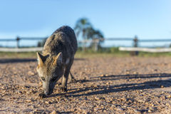 Mountain Fox on El Palmar National Park, Argentina Stock Photos