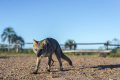 Mountain Fox on El Palmar National Park, Argentina Royalty Free Stock Photography