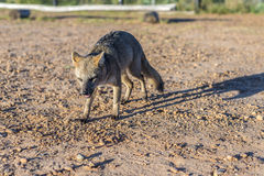 Mountain Fox on El Palmar National Park, Argentina Royalty Free Stock Photo
