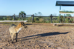 Mountain Fox on El Palmar National Park, Argentina Stock Image