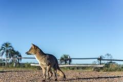 Mountain Fox on El Palmar National Park, Argentina Royalty Free Stock Photography