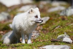 Mountain Fox Royalty Free Stock Image
