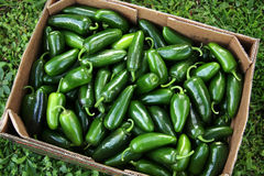 Mountain Fresh Jalapeno Peppers Royalty Free Stock Photography