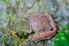 Mountain frog Royalty Free Stock Photo
