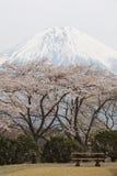 Mountain fuji and cherry blossom sakura Royalty Free Stock Photo