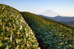 Mountain Fuji and Green tea fields Stock Photos