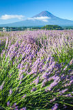 Mountain fuji and  purple color of lavender Stock Image
