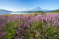 Mountain fuji and  purple color of lavender Royalty Free Stock Image