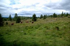 A mountain full of cows. The picture is taken summer 2014 in Hedmark Norway Stock Photo
