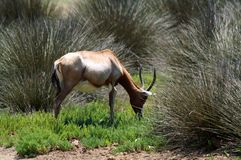 The mountain gazelle is a species of gazelle widely but unevenly distributed in Israel, Lebanon, the Golan Heights, Iran and Turke. Y royalty free stock images