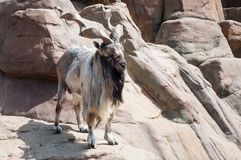 Mountain gnarled goat. The markhor, also known as the horn goat. Adult male of Capra falconeri, against a natural rocky terr royalty free stock photo