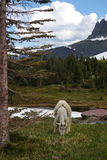 Mountain Goat 1. Mountain Goat in the wilds of the Rocky Mountains Stock Image