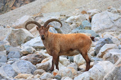 Mountain goat. With big horns - an enviable trophy for any hunter Stock Photography