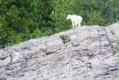 Mountain Goat. A mountain goat in Glacier National Park Stock Photo