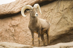 Free Mountain Goat Royalty Free Stock Photo - 12399545