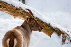 Mountain goat. A mountain goat on snowed out terrain Royalty Free Stock Photos