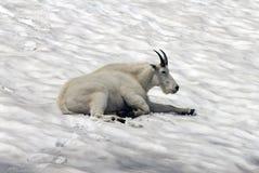 Free Mountain Goat Stock Image - 13105681