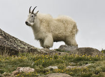 Mountain Goat. A Mountain Goat at Summit Lake below Mt. Evans near Idaho Springs, Colorado Stock Image