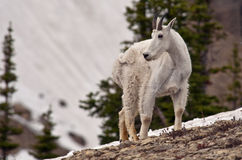 Mountain Goat. A billy mountain goat in Logan Pass, Glacier National Park, Montana Royalty Free Stock Image