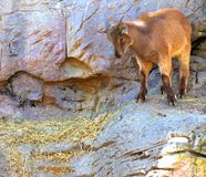 Mountain Goat. A Goat perched royalty free stock images