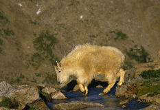 Mountain Goat. A mountain goat crossing an alpine stream Royalty Free Stock Photos