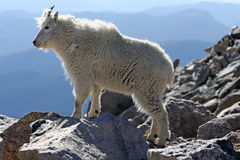 Mountain Goat. A mountain goat looks out over the surrounding mountains from the summit of Mount Evans in Colorado. Mount Evans is the highest paved road in Royalty Free Stock Photos