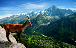 Free Mountain Goat Royalty Free Stock Image - 17975736