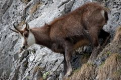 Mountain goat Royalty Free Stock Image
