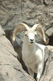 Mountain Goat 2. Large mountain goat stands amog the rocks Royalty Free Stock Photo