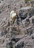 Mountain Goat 2 Royalty Free Stock Photo