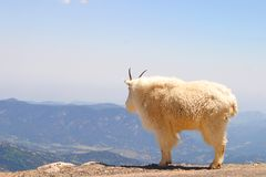 Mountain Goat. A shaggy white mountain goat looking out over the edge of a cliff.  Taken at Mount Evans, Colorado, USA on June 25, 2011 Stock Photo