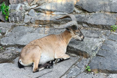 Mountain goat Stock Photos