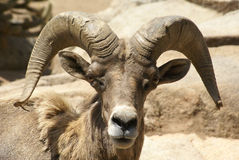 Mountain Goat. Close up of a Male or Ram Mountain Goat Royalty Free Stock Photo